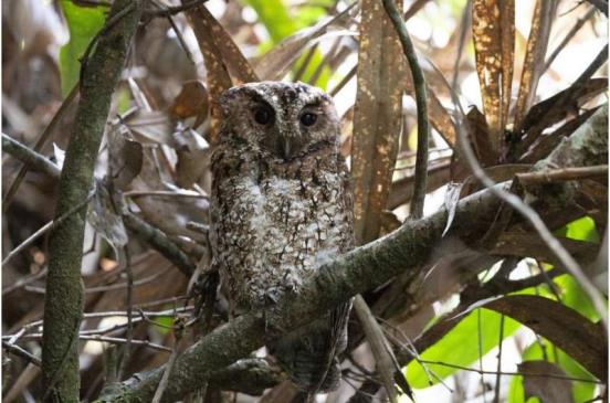 Bornean rajah scops owl rediscovered after 125 years