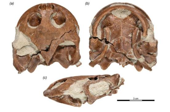 A new pelomedusoid turtle from the Late Cretaceous of Madagascar discovered