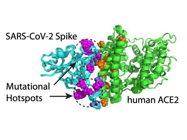 """Computer-ba<em></em>sed modeling can predict mutation """"hotspots"""" and antibody escapers in the SARS-CoV-2 spike protein"""